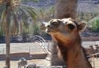 camello oasis park